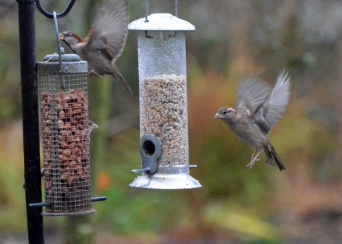 Sparrow going chaffinch coming