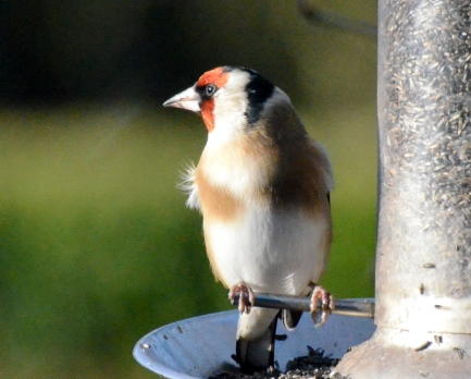 goldfinch in sun
