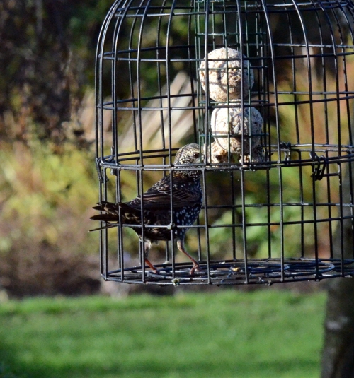 starling in prison