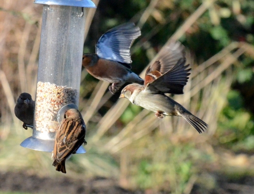 sparrows on the wing