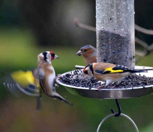 goldfinch surprise
