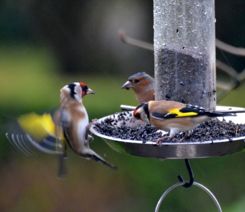 goldfinch surprise