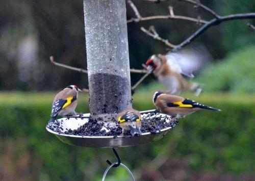 Goldfinch blur