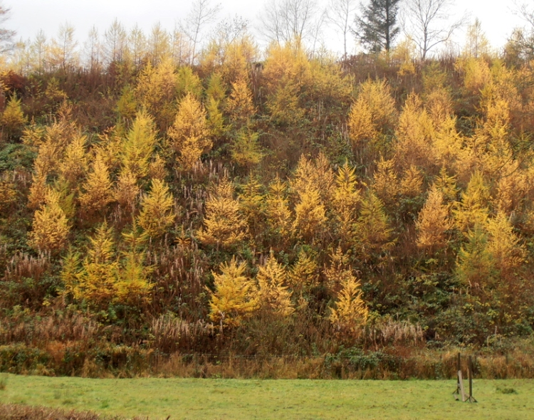young larch trees