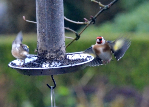goldfinch backing off