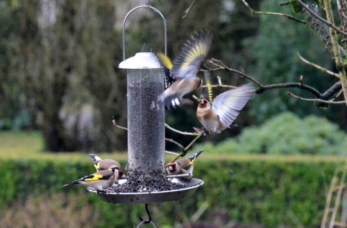 goldfinch flapping