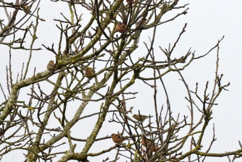chaffinches in walnut tree