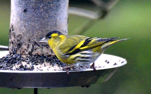 another siskin