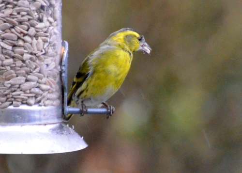 siskin with sunflower seed