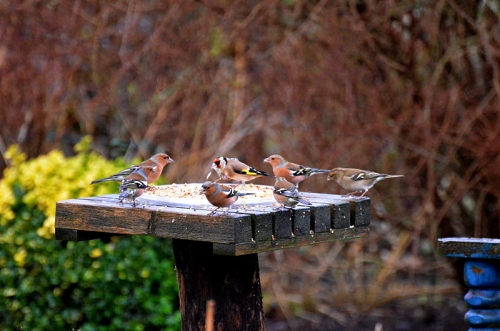 chaffinches and goldfinch