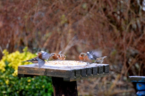 chaffinches leaving