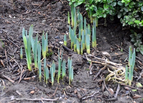 potential daffodils