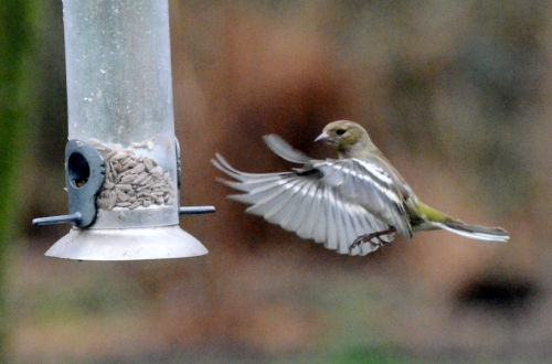 chaffinch with spread wings