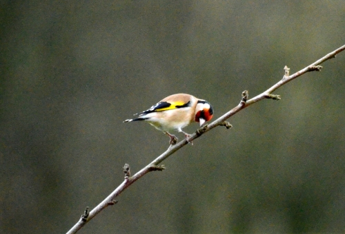 goldfinch on twig