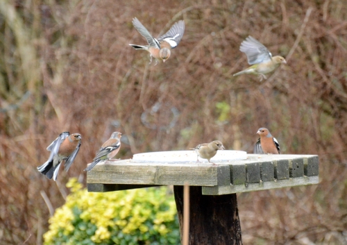 busy chaffinches
