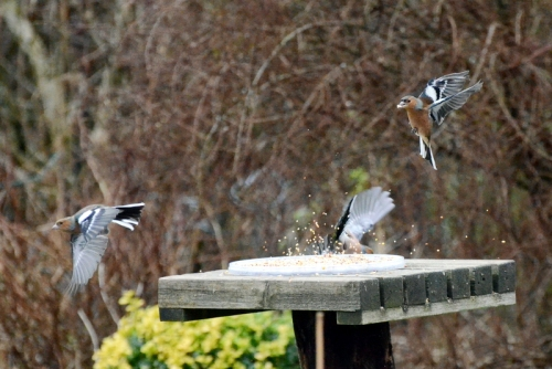 seed explosion with chaffinches
