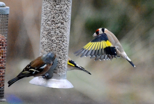 Goldfinch flying