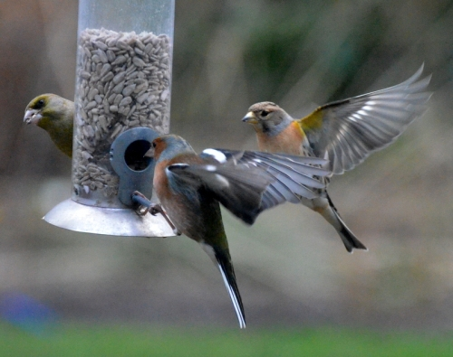 greenfinch and flying chaffinches