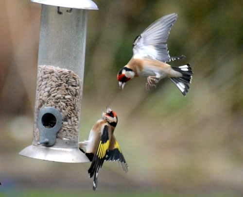 flexible goldfinch