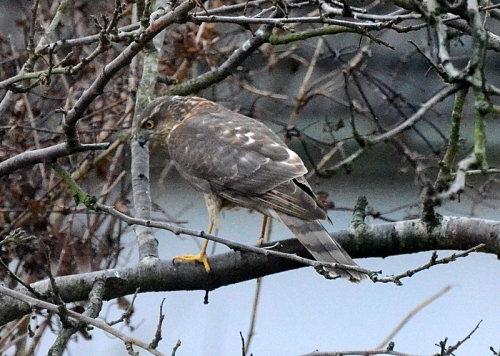 sparrowhawk turning