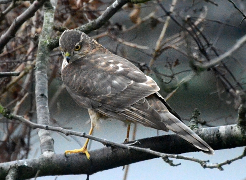 sparrowhawk turning more