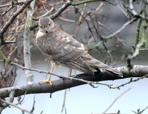 sparrowhawk looking