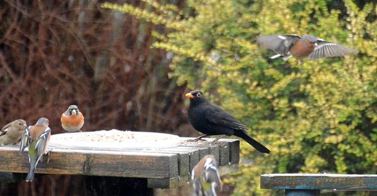 blackbird, brambling and chaffinch
