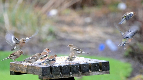nine chaffinches