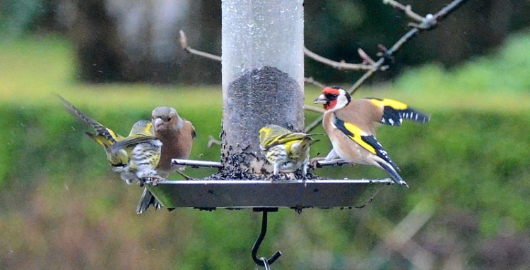 chaffinch, goldfinch, siskins