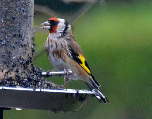 miserable goldfinch