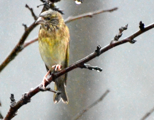miserable greenfinch