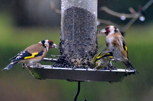 Even more miserable goldfinches