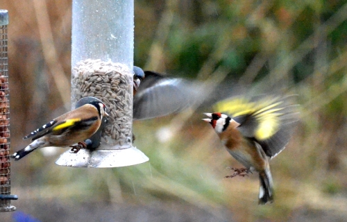 flying goldfinches