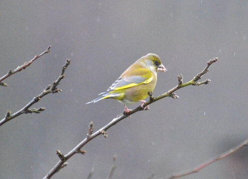 greenfinch on twig