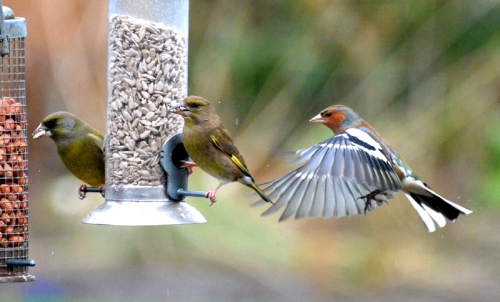 greenfinches and flying chaffinch
