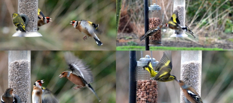 battling goldfinches, chaffinches and siskins