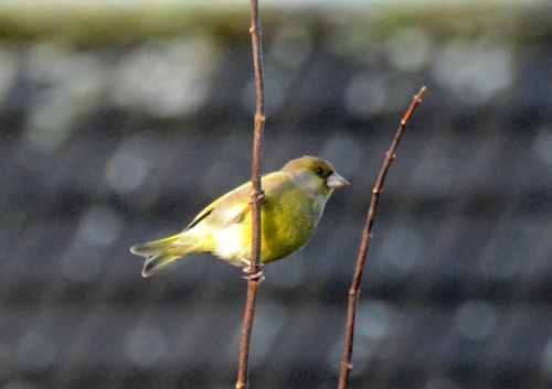 bright greenfinch