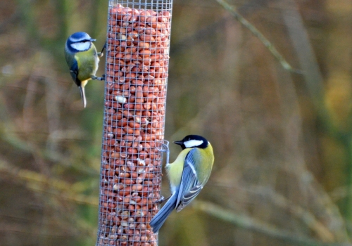 blue and great tit
