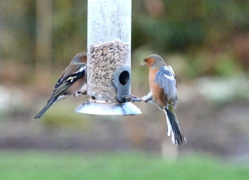 chaffinch almost flying