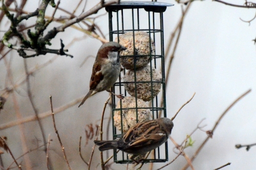 fat ball sparrows