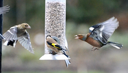goldfinch and chaffinches