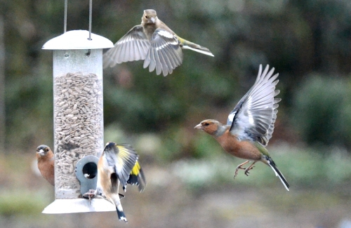 chaffinches high and low