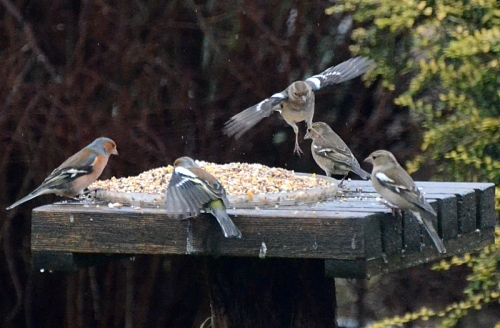 table top chaffinches