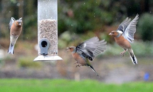 singing in the rain chaffinches