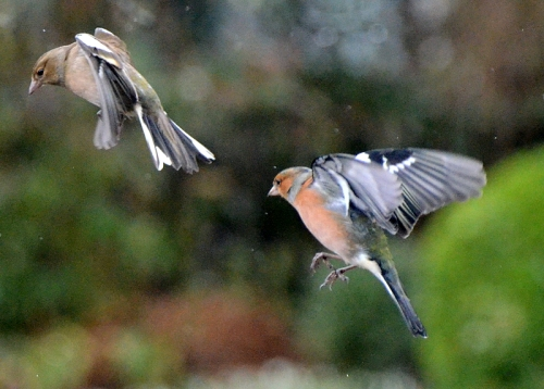 rising chaffinches