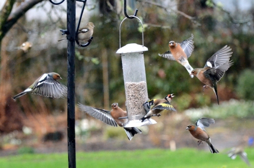 goldfinch surrounded by chaffinches