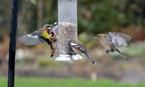 chaffinch getting stuck in