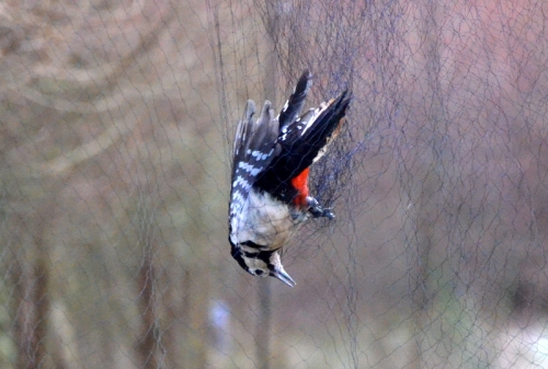 woodpecker netted