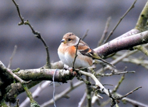 a brambling feeling the cold