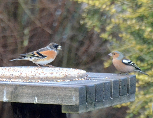 A brambling and chaffinch